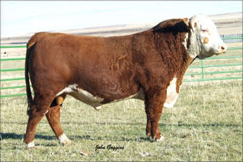 hh advance 5104r holden hereford herd sire