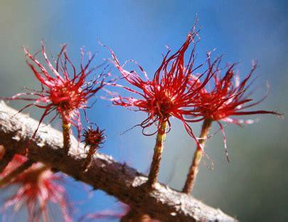 fiori di bach e menopausa fiori australiani she oak mestruazioni gravidanza