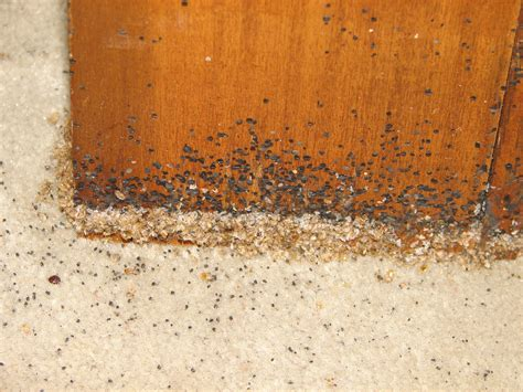 do bed bugs live in wood do bed bugs live in wood 28 images how to get rid of