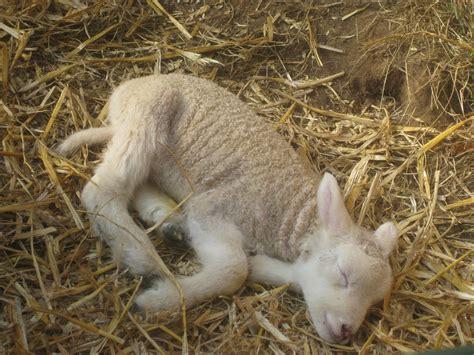 lambs and l lambs helen dennett