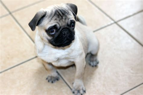 pugs for sale in bc pug for sale south east pets4homes