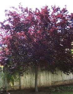 the 2 minute gardener photo purple leaf plum tree