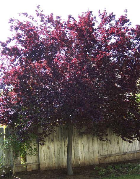 the 2 minute gardener photo purple leaf plum tree prunus cerasifira