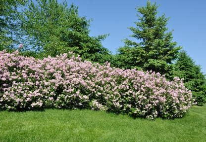 best evergreen hedge best shrubs for privacy lovetoknow