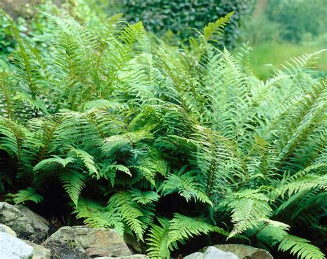 how to use ferns in your garden or landscape longfield gardens