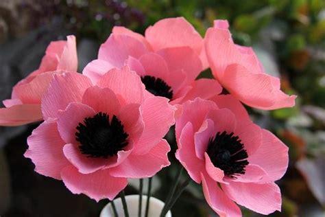 anemone fiore significato coltivare l anemone in giardino