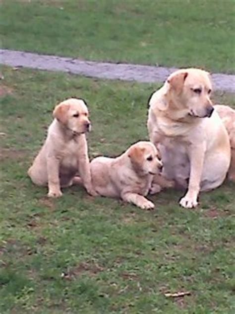 lab puppies ma labrador retriever breeders rehoboth ma photo