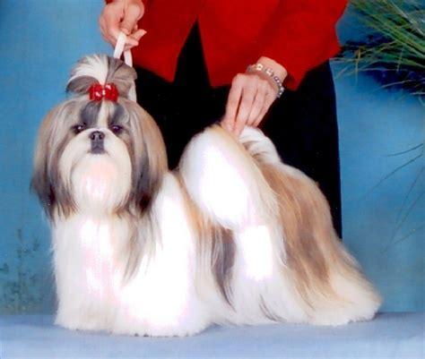 wenrick shih tzu ch wenrick s of chien de race toutes races en tous departements