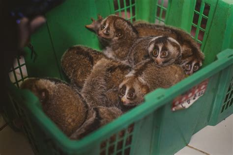 record number  slow lorises seized  indonesia