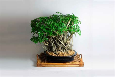 old bonsai tree product of the week bonsai trees