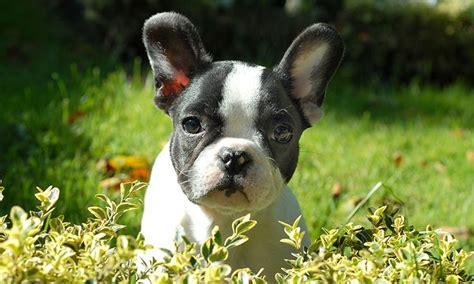 raza perros peque os pelo corto perros peque 209 os razas y fotos