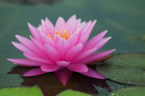 water lily flower with lion pink water flowers www pixshark images