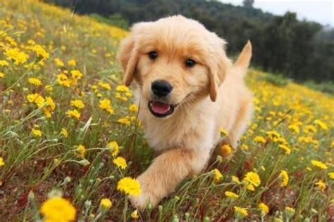 atlanta golden retriever puppies golden retriever puppy in field of flowers puppy happy puppys
