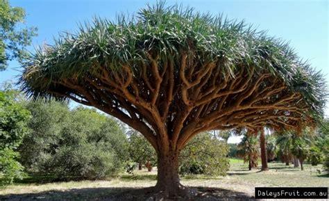 Tree Plant - tree dracaena draco
