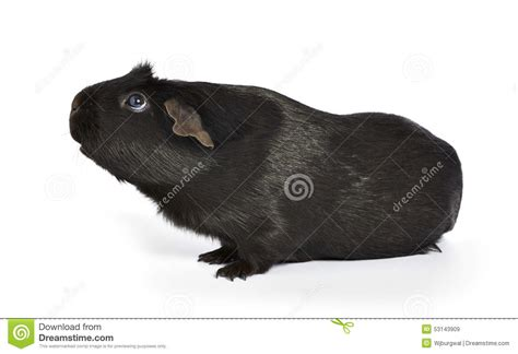 guinea pig cavia porcellus sniffing royalty free stock photo cartoondealer 15287469