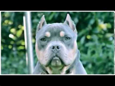 tri color pitbull american bully puppy youtube