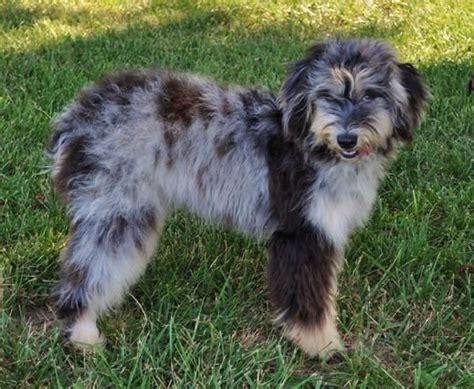 aussiedoodle puppy aussiedoodle australian shepherd poodle mix info puppies pictures
