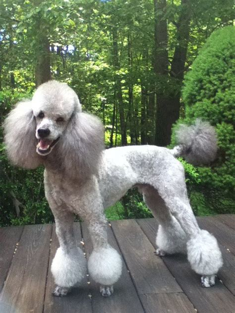 Different Poodle Haircuts | different styles poodle grooming different hair styles