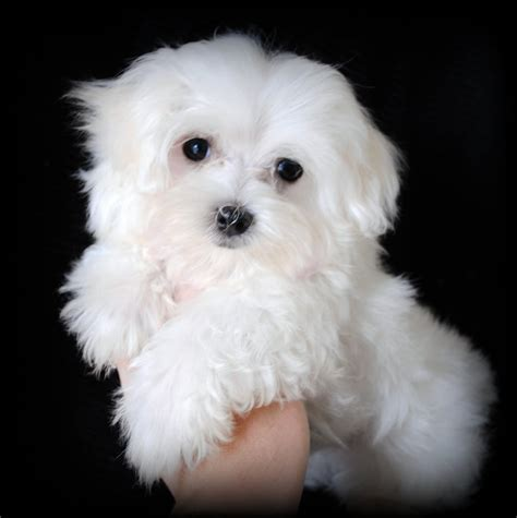 maltese puppies for sale maltese puppies for sale in carolina may 2009