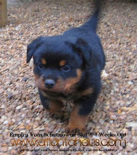 german purebred rottweiler purebred german rottweiler puppies