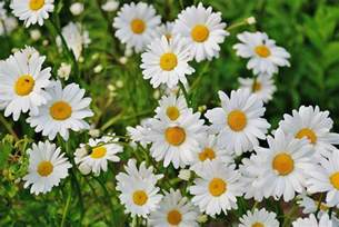 What Is A Foliage Plant - shasta daisies how to plant grow and care for daisy flowers the old farmer s almanac