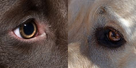 uveitis in dogs anterior uveitis in a or cat petful