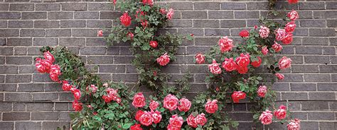 tips on planting quot climbing roses quot on a rose trellis my planting guide weekend gardener