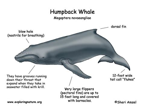 whale diagram whale humpback