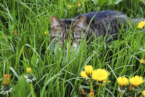 1pack Tanaman Rumput Kucing Cat Grass gambar menanam halaman rumput padang rumput hewan margasatwa anak kucing taman flora