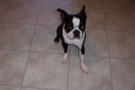 boston terrier puppies for sale in california puppies for sale boston terrier boston terriers bostons f category in yucca