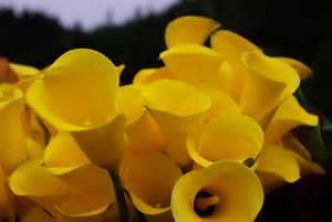 Yellow Calla Lily Yellow Calla Lily Bridal Bouquet