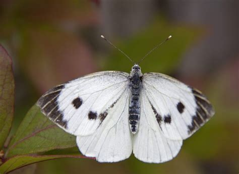 identify white butterflies scottish wildlife trust