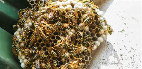 calabroni nel camino disinfestazione vespe e calabroni chiama eurogreen