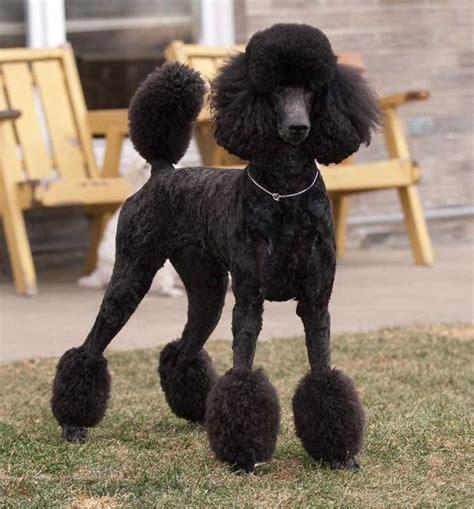 standard poodles cuts 253 best oodles of poodles images on pinterest poodles