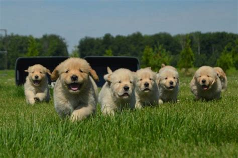 columbus golden retriever club sugarcreek goldens golden retrievers columbus grove ohio