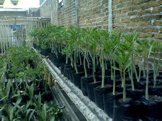 Bibit Bunga Kamboja Bonggol Karakter 2 Warna aneka tanaman hias produk kami