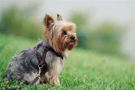 do yorkie puppies shed all about yorkie shedding do yorkies shed grooming tips