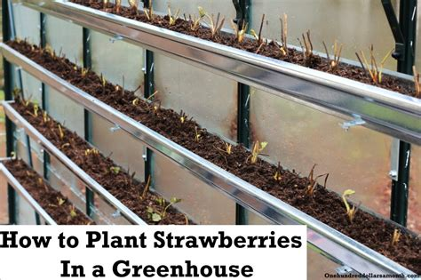 how to grow food in a greenhouse planting strawberries in gutters one hundred dollars a month