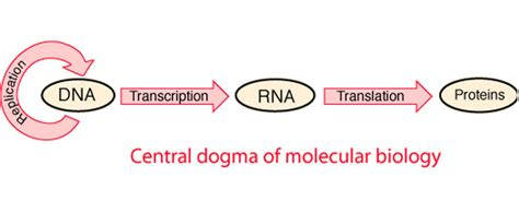 Molecular Biology Dissertation Topics by Molecular Biology Research Paper Molecular Biology