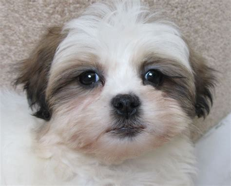 shih tzu cross terrier maltese terrier cross shih tzu herne bay kent