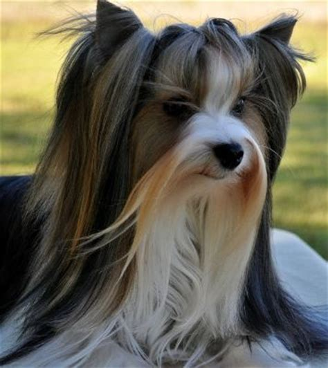 do yorkies human hair 126 best images about honden on haircuts yorkie and abyssinian cat
