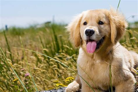 golden retriever age feeding a golden retriever for optimum health the golden retriever network