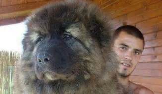 Russian caucasian mountain dogs are the dogs of your dreams
