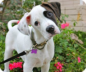 boxer puppies los angeles 12 best images about critters on puppy for adoption two dogs and blue
