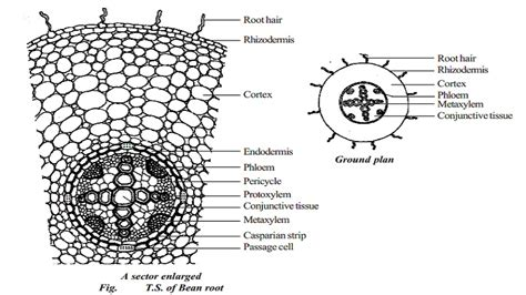transverse section of a monocot root primary structure of dicotyledonous root bean root