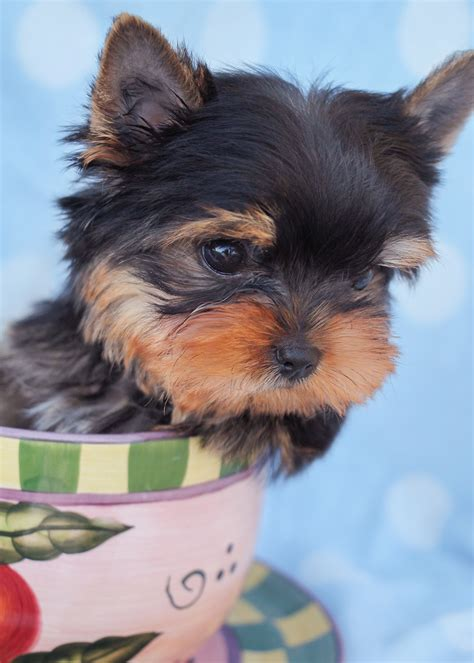 yorkie breeders in south florida yorkies for sale at teacups puppies south florida teacups puppies boutique