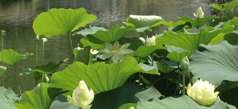 fiore loto loto e ninfea i fiori per il laghetto cose di casa