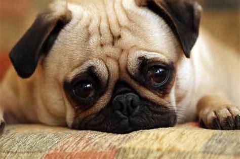anjing pug anjing pug jual anak anjing artikel anjing adopsi anjing anjing hilang anjing