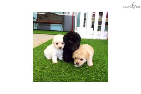 maltipoo puppies for sale bay area maltipoo dogs ebay breeds picture
