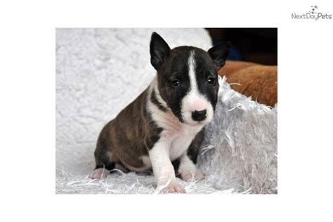 miniature bull terrier puppies breeders bull terriers miniature bull terrier puppy for sale near budapest